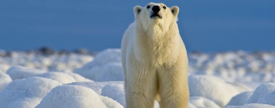Alla ricerca degli orsi polari - Arctic Beautiful Polar Bear - Courtesy of Churchill Wild
