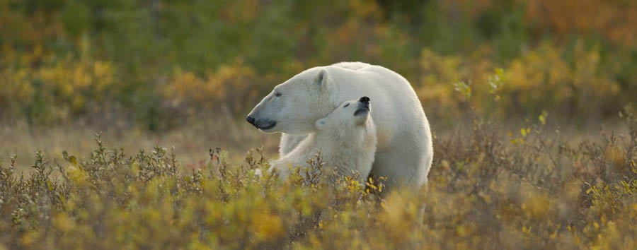Odissea polare a Hudson Bay - Arctic Hudson Bay, Mother & Cub Cuddling - Courtesy of Churchill Wild