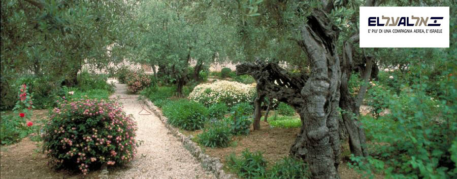 Natale in Israele - Israel Olive Trees in The Garden of Gethsemane