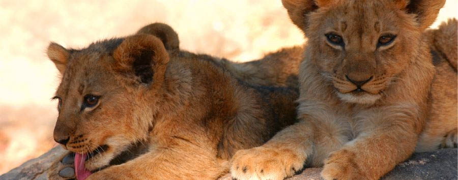 Zimbabwe, triangolo d'acqua - Zimbabwe Lion Cubs in The Hwange National Park