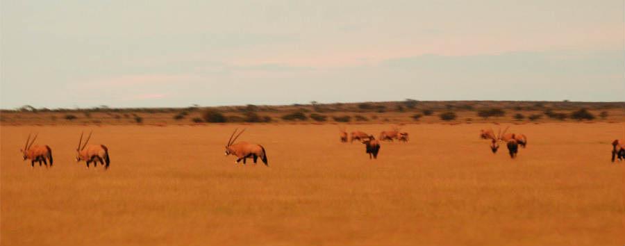 Viaggio nella terra dei San  - Botswana Gemsboks in Kalahari