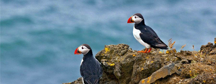 Iceland - Puffins © Visit Iceland