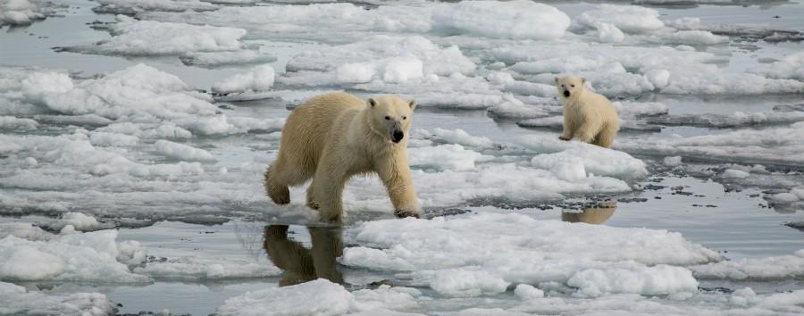 Artico: le tre perle dalle Highlands all'alto Artico - Artico Polar bears