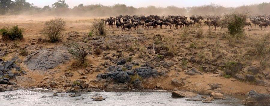 Kenya, Safari Classique - Kenya Wildebeest near Koyiaki River, Masai Mara