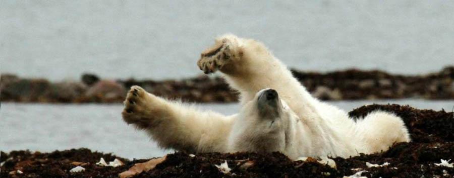 Migrazioni artiche: gli orsi polari - Arctic Polar bear © David Briggs