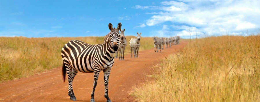 African Explorer - Namibia Zebras in Etosha National Park