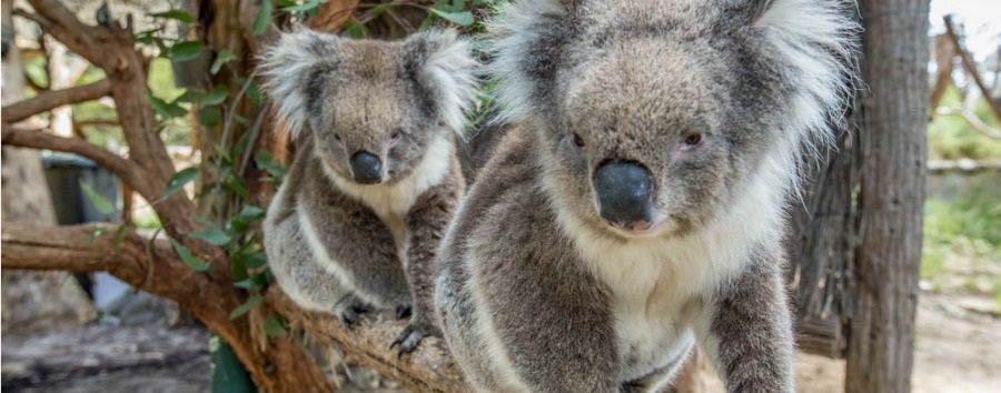 Mosaico australiano: Adelaide - Australia South Australia, Adelaide, Koala at Adelaide Hills © Greg Snell/Tourism Australia