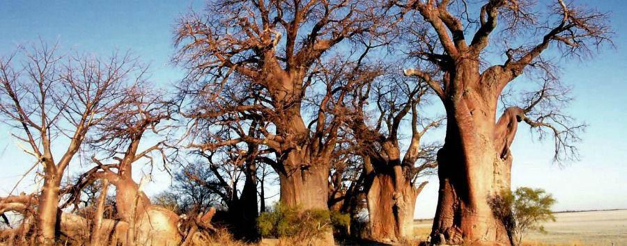 Easy Botswana - Botswana Makgadikgadi Pans, Baobab Forest