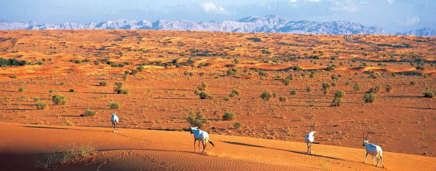 Da Dubai ad Abu Dhabi - Dubai Oryx in the desert