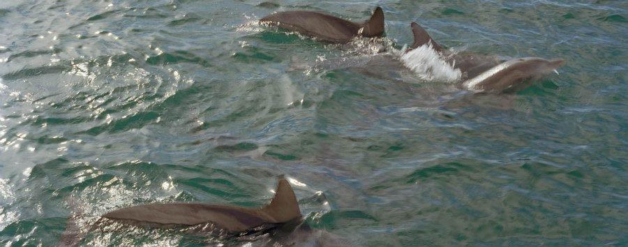Australia, West Coast Drive - Australia Western Australia, Dolphins at Monkey Mia © Anson Smart/Tourism Australia