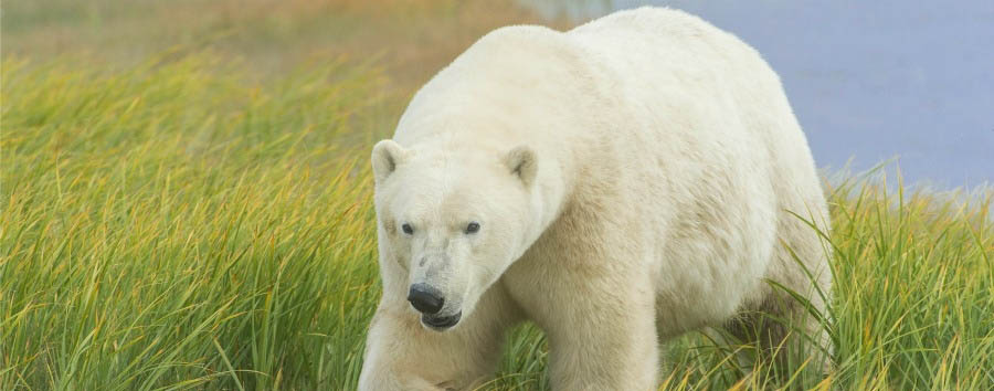 Odissea polare a Hudson Bay - Arctic Polar Bear - Courtesy of Churchill Wild