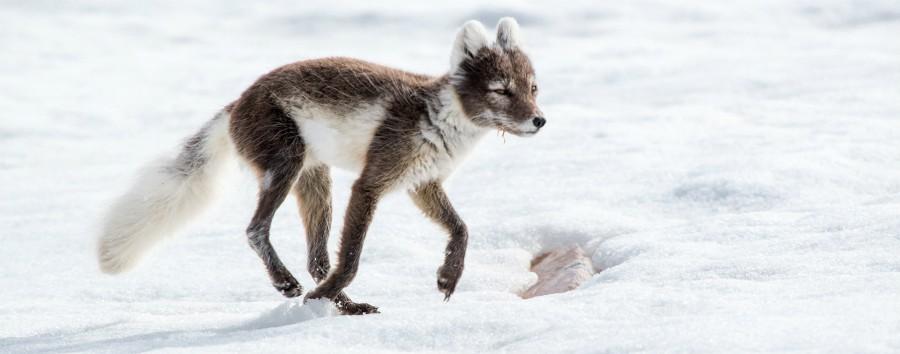 Artico: le tre perle dalle Highlands all'alto Artico - Artico Arctic fox