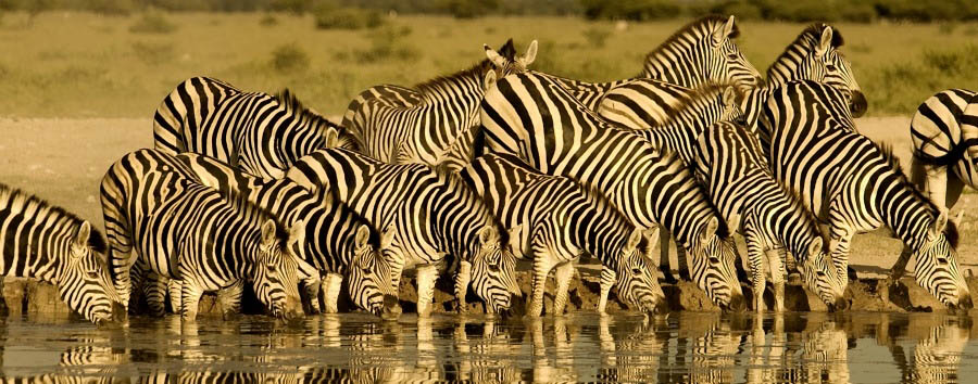 Acque africane - Botswana and Namibia Zebras drinking in Chobe River