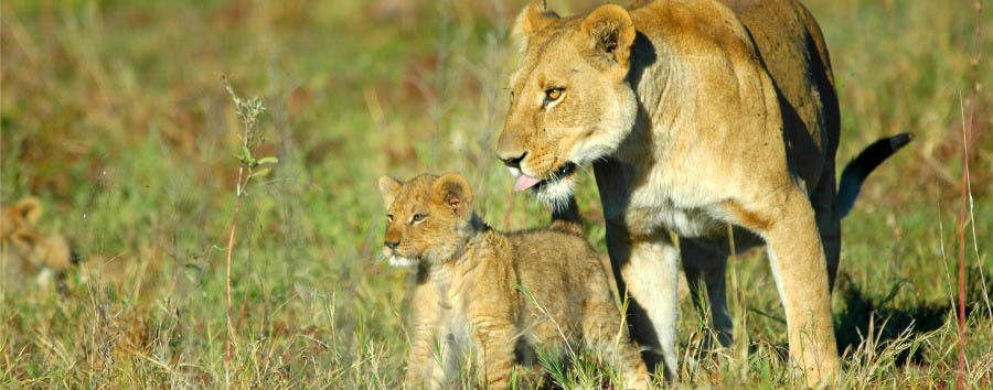 Botswana - Lions in Moremi Game Reserve