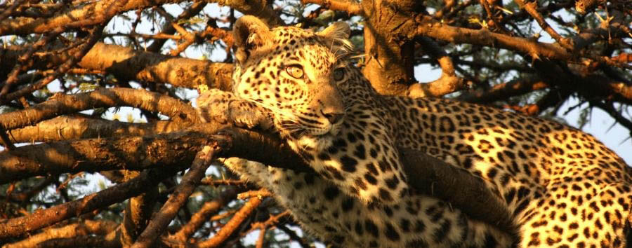 Unique Kenya Experience - Kenya Chyulu Hills National Park, Leopard on a Tree