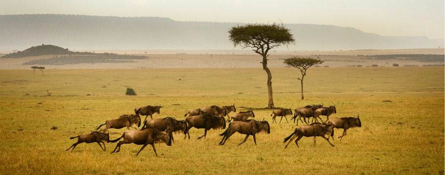 Unique Serengeti Experience - Tanzania Serengeti National Park, Wildebeest Herd Running