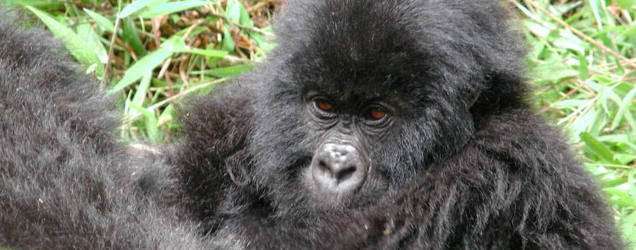 Uganda, Gorilla Adventure - Uganda Touching encounters during gorilla trekking
