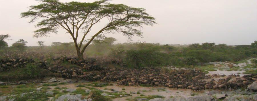 East Africa Migration Discover - Kenya Masai Mara National Reserve, migration dave