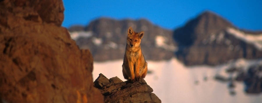 Cile, lungo la Cordigliera - Chile Torres Del Paine National Park, Fox in the mountain