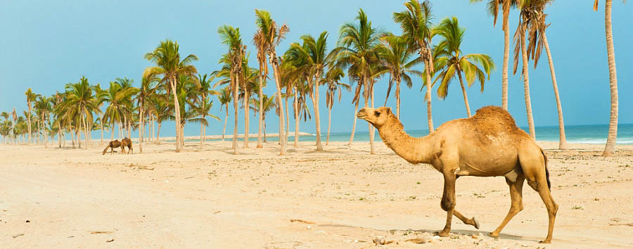 Oman - Salalah beach with dromedary