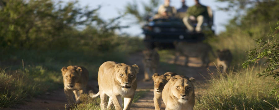 Cape Town, Kruger e Victoria Falls - South Africa Lions Spotting During a Game Drive