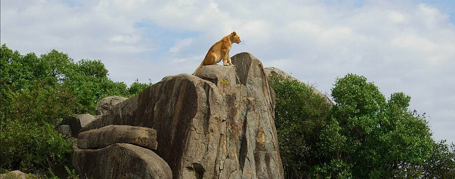 Tanzania Wildlife & Cultural Explorer - Tanzania Lion on a rock in the Serengeti National Park