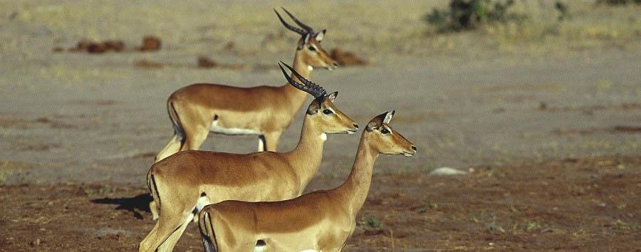 Botswana per tutti - Botswana Antelopes in Chobe National Park
