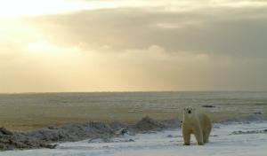 Migrazioni artiche: gli orsi polari