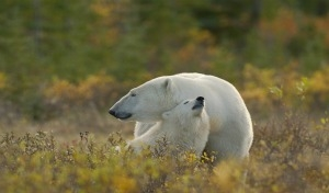 Odissea polare a Hudson Bay