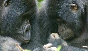 Uganda, Gorilla Adventure