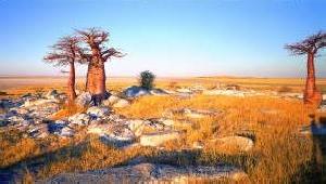 Botswana Baobabs
