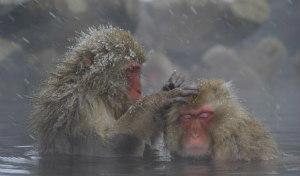Le scimmie delle nevi